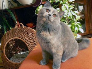 Голубо кремовый кошки котенок