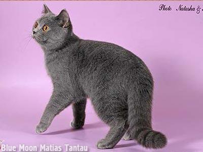 Купить британскую голубую кошку в