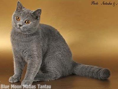 Британская короткошерстная кошка melina