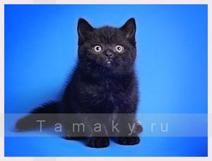 британцы котята фото черные