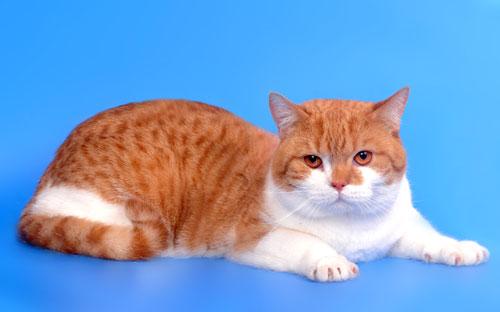 Британский кот красный тэбби биколор